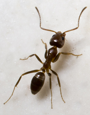 Argentine Ants | Get rid of ants!