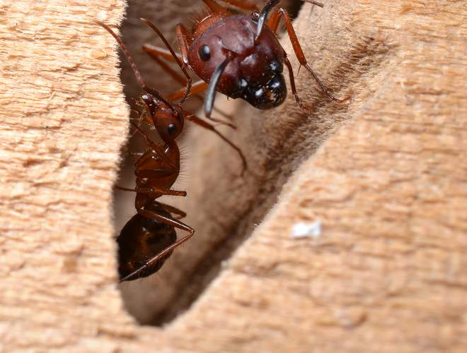 Carpenter Ants Workers | Get rid of ants!