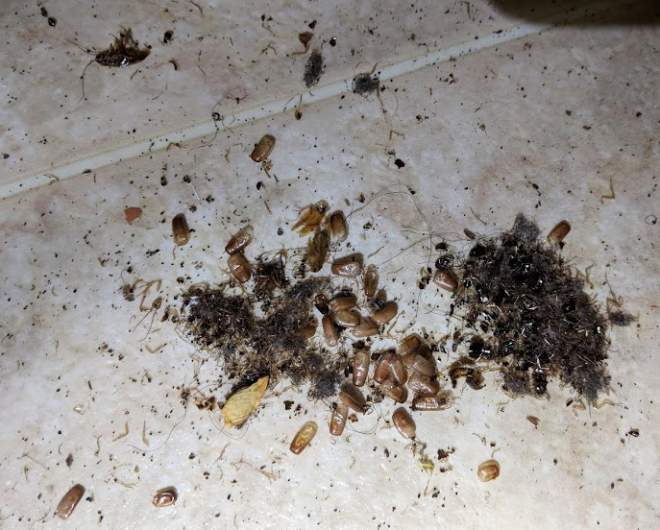 Smaller cockroach infestation