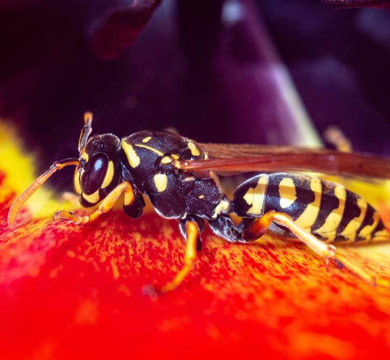 How to get rid of yellowjackets and wasp nests.