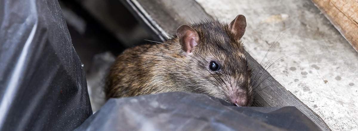 Get rid of rats and mice